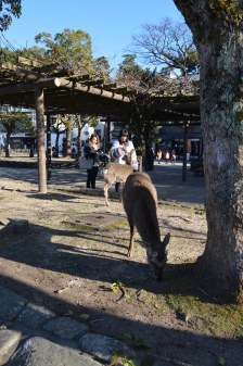 I cervi di Miyajima